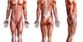 Muskeln - Funktionen, Aufbau und Erkrankungen